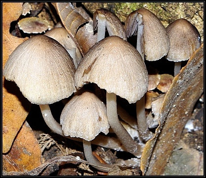 Coprinopsis pannucioides